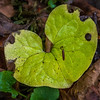 This Wild Ginger was a treat.  The chartreuese color is much paler than the deep green usually found, probably because it is Fall.  I would love to see the flower that blooms at the base of the plant in April.  I'm not sure if that is a small slug of some sort making his way across the big heart-shaped leaf.