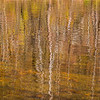 Reflection of Birch trees