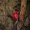 Red Maple Leaf got stuck