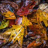 Although collections of fallen leaves may come from many of the same trees, the random nature of the falling leaves, phase of decomposition, etc. all combine to make each collection interesting and different.