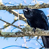 Crows are seen in many national parks.  They are always on the lookout for something to eat, and often look to tourists for a snack.