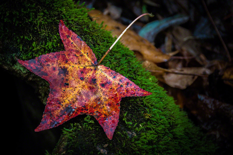 The leaves of the American Sweetgum Tree are some of my favorites in the Fall, so I was thrilled when I found this one laying on moss growing on a tree.  Just Awesome!