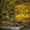 The Witch-hazel over the stream is in bloom in the Fall even as its leaves change from green to yellow to brown.  Because it blooms in the Fall it is sometimes call Winterbloom.