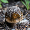 Brown Fly Agaric mushroom.  Known to be poisonous and phychoactive.  Yum.