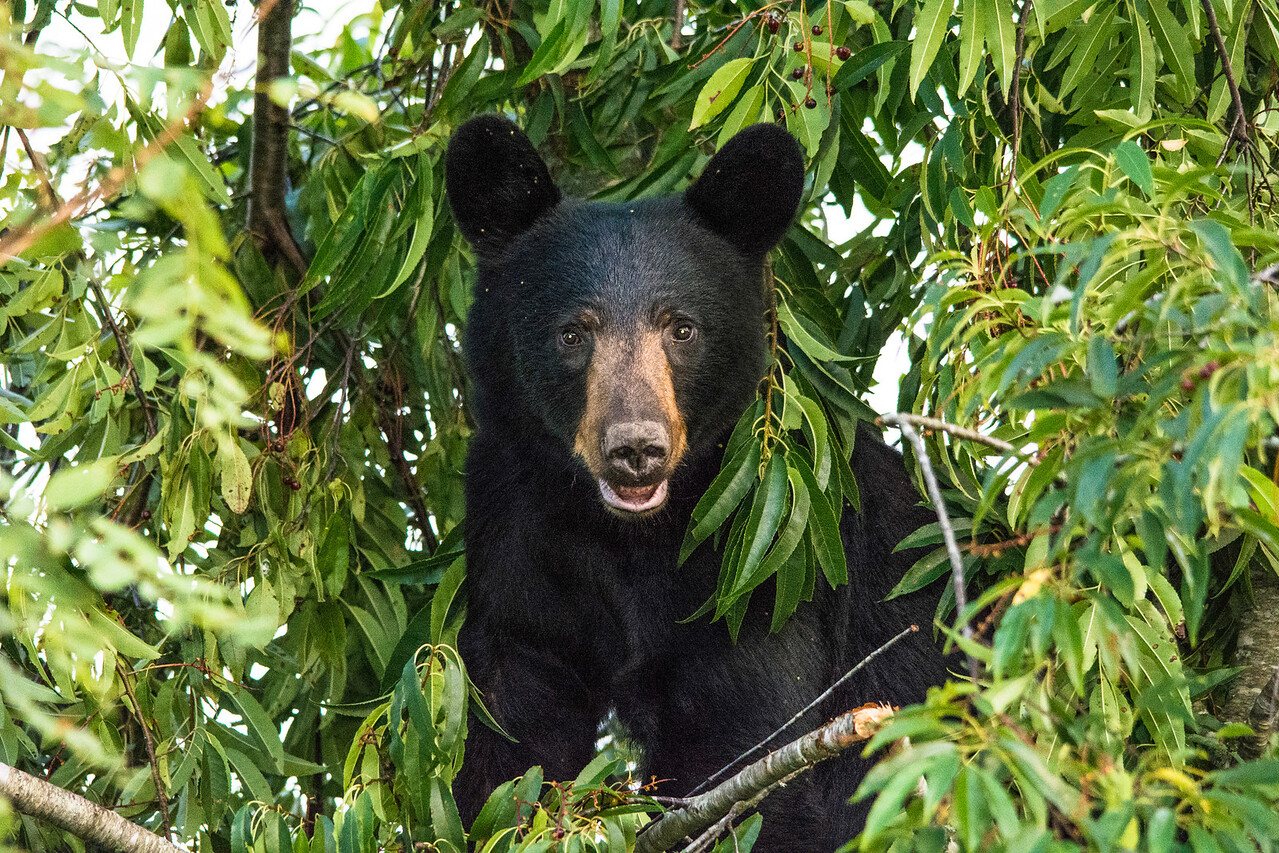 Last shot of the day.  American Black Bear gorging for winter in a Wild Cherry Tree.  As usual, I was too close.