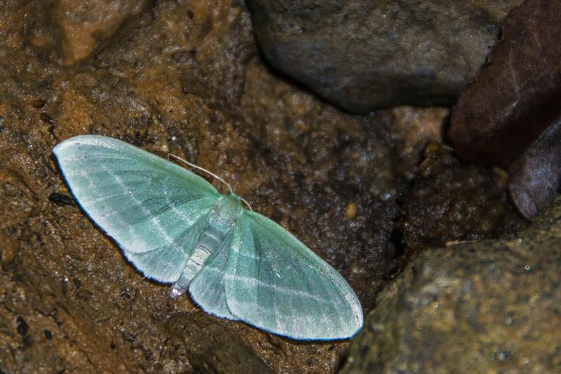 Badwing Moth