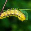 Io Moth catepillar.  Wish I had seen the the colorful moth this becomes.