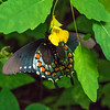 Ventral side of a Pipevine Swallowtail on a Pale Jewelweed