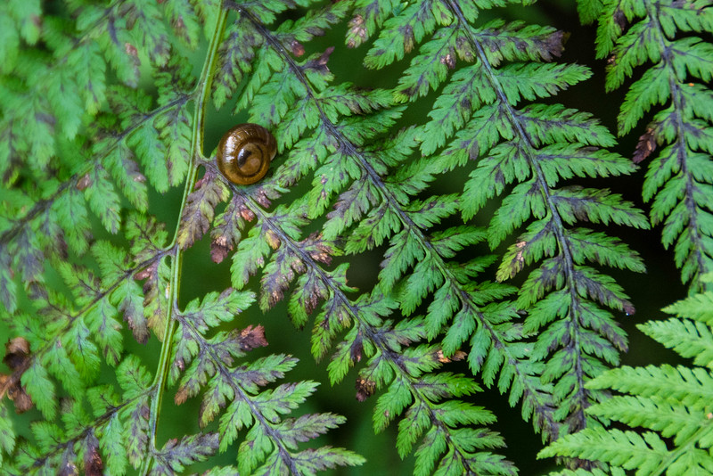 Spiral Mountain Glyph snail.  Common in the Smokies.  Food for beetles, salamanders, mice, and some other snails.