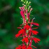 Cardinal flower in early stages of blooming.  These are dazzeling against the dense green foliage of the Smokies.