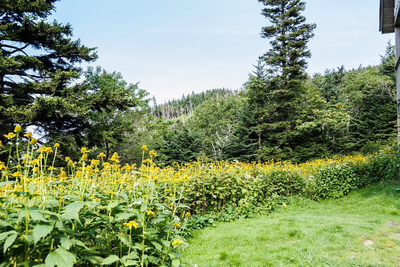 No doubt this large patch of Cutleaf Coneflowers is heaven to the bees.