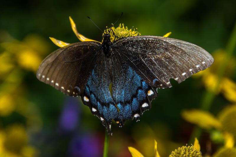 Spicebush Swallowtail on a Cutleaf Coneflower.