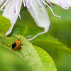 Passionflower Flea Beetle