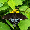 Pipevine Swallowtail on a Pale Jewelweed