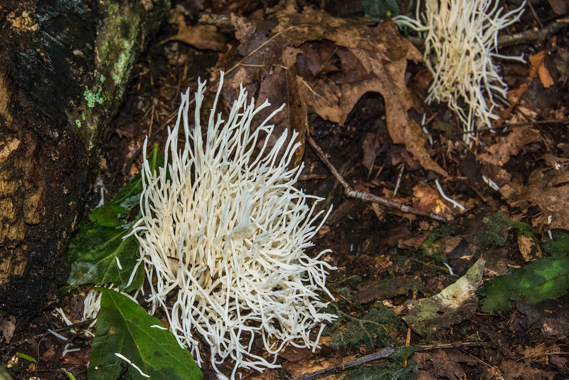 Straight-branched white coral mushroom