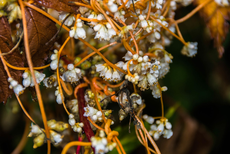 Common Dodder is a parasitic plant also known as vine.