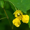 Pale Jewelweed closeup on one of the quiet walkway trails