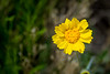 These yellow relatives of the sunflower plant are Coreopsis, with variations all over North America.