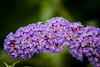 Buddleia produces bows of tiny colorful flowers.