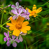 Woodland Phlox and Lanceleaf Coreopsis