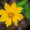 Lanceleaf Coreopsis, the MS state flower