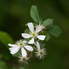 Wild Blackberry blooms