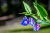 Broad-leaf Bluebells