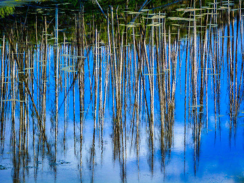 The reflection of dead Aspens on the other side of a lake.