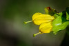 Common Yellow Monkeyflower almost ready to bloom