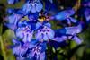 Dark-blue Penstemon