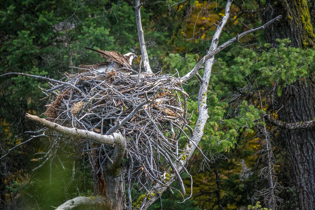 the female Ospry was waiting patiently on the nest for hubby to bring home the next meal.