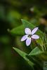 Narrow-leaf Collomia
