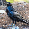 I really like Ravens as well as other birds.