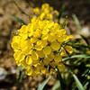 Sierra Wallflower