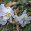Tufted Evening-primrose