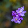 Small purplish flower