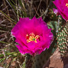 Plains Pricklypear