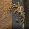 Nocturnal crab spider
