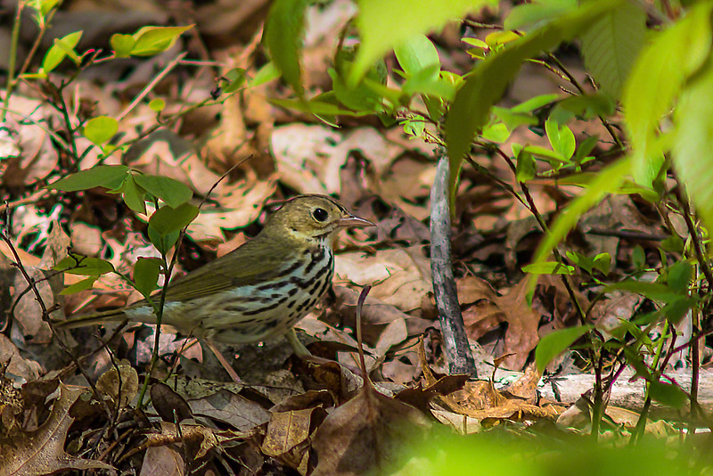 Wood Thrush, another first for me, so I was delighted.