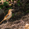 There were two Brown Thrashers guarding a nest in a very large bush.