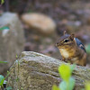 Another Eastern Chipmunk