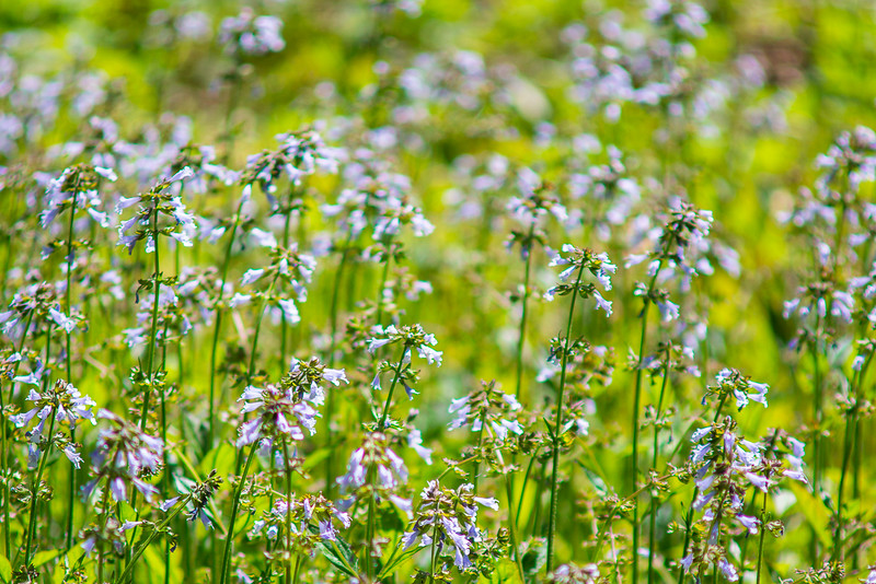 There was a small field of these wildflowers in a rare opening of the forest canopy.