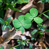 I often find four leaf clovers and typically take their picture instead of picking them.