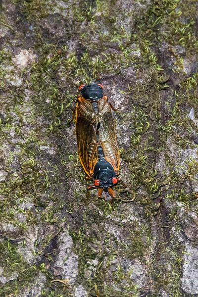 Making more Cicadas