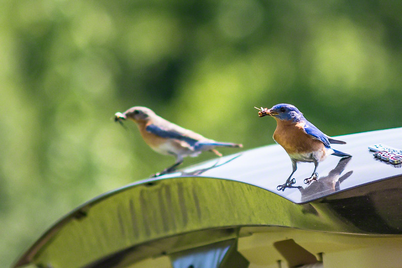 Eastern Bluebirds were feeding young ones in a nearby nest we could not see.