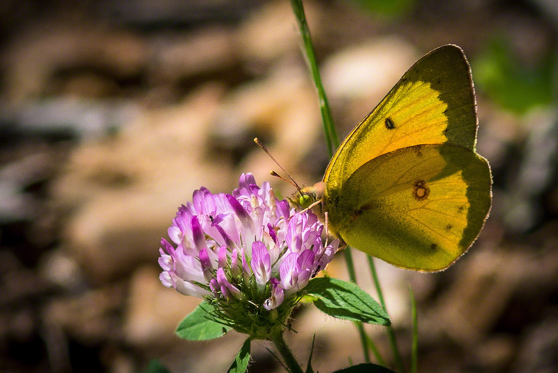 We also got a shot of this Clouded Sulphur Butterfly on clover.  I love the colors.