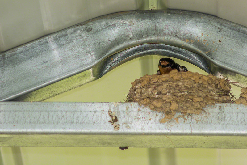 We were also thrilled to see these Barn Swallows tending their nest.