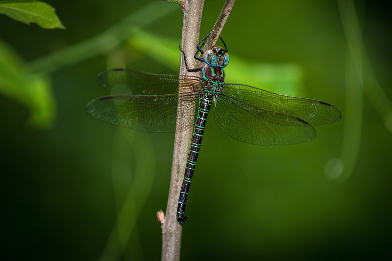 If a Dragonfly pauses for a photograph I always try to accommodate him.