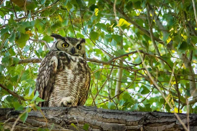 The campground was nice with lots of shade from the namesake Cottonwood trees.  However, it was otherwise not photogenic.  However, a pair of Great Horned Owls have taken up residence there and I was delighted to photograph them.  This is the female.  They are about two feet tall.