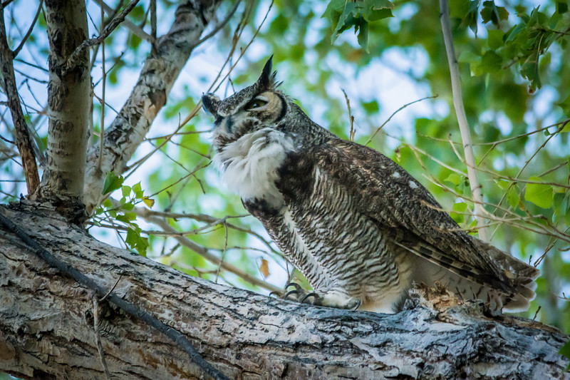 Here is the male Great Horned Owl with his white feather bib.  He was making territorial protection calls.  The male is actually smaller than his monogamous mate.  He is also the hunter and catches and kills fairly large prey including raccoons.  They regularly eat skunks, which surprises me.